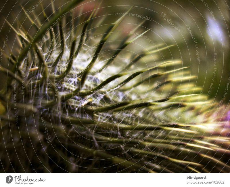 Kuschel Natur Pflanze Sommer Blüte Garten groß Spitze zart Schmerz Blühend Botanik Bioprodukte Umweltschutz Stachel stechen Zauberer