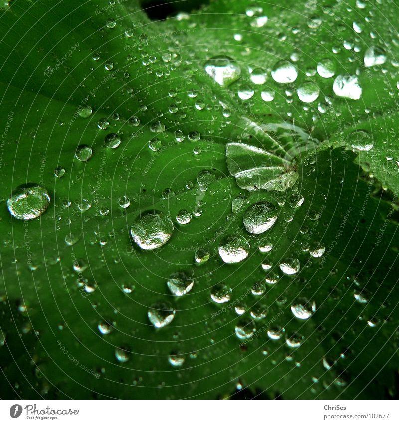 Regentropfen_02 Blatt grün nass feucht Pflanze Grünpflanze Kletterpflanzen Frühling Sommer kalt Herbst Botanik Nordwalde Makroaufnahme Nahaufnahme Wasser