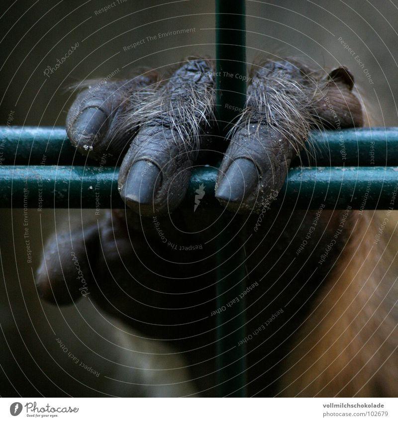 Einsam und Allein gefangen Affen Finger Hand Fingernagel Zaun Gitter Einsamkeit Trauer Stinkefinger Fingerabdruck Haftstrafe Zoo Zirkus Tier Säugetier Falte