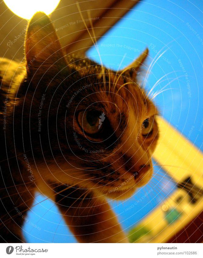 Diesel blau Tier Fenster Katze verrückt Küche Ohr Fell Säugetier Schnurrhaar Miau