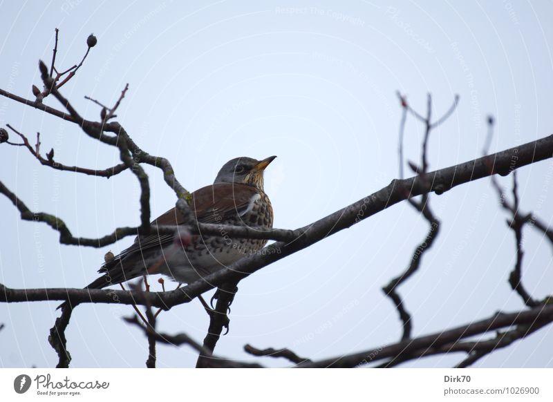 Winter ist ... Wacholderdrosseln überall. Wolkenloser Himmel Schönes Wetter Baum Sträucher Zweige u. Äste Beeren Beerensträucher Park Wald Tier Wildtier Vogel