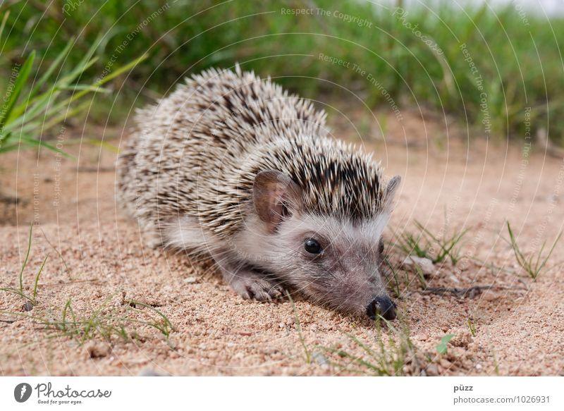 Igel Umwelt Natur Tier Sommer Schönes Wetter Wildtier Tiergesicht 1 Tierjunges Sand klein stachelig braun grün Stachel Auge Nase Gras Grasnarbe Einsamkeit