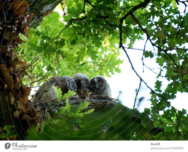 Zusammenglucken (Geschwisterliebe) Umwelt Natur Baum Ast Eiche Blätterdach Blatt Wald Tier Wildtier Vogel Waldohreule Küken Ästling 3 Tierjunges Tierfamilie