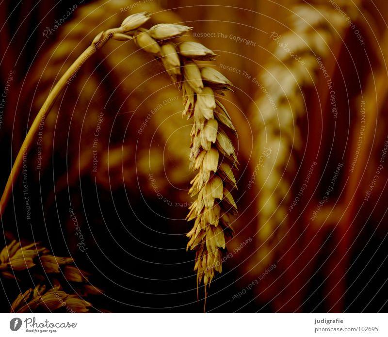 Weizen Feld Ackerbau gelb Sommer Wachstum gedeihen Landwirtschaft Lebensmittel Ähren Pflanze Vegetarische Ernährung Getreide orange gold Ernte rispen