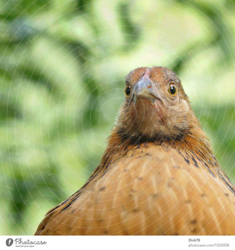Verblüfftes Huhn grün Baum Blatt Tier schwarz feminin lustig grau Lebensmittel braun Vogel Feder verrückt beobachten Schönes Wetter Neugier