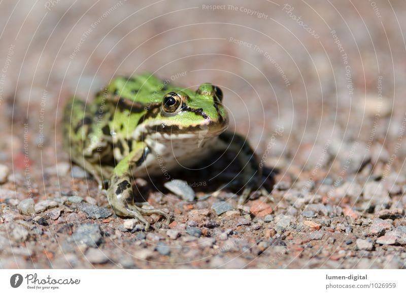 Laubfrosch sitzt auf Kiesweg Natur Tier Wasser Wege & Pfade Wildtier Frosch 1 Stein Sand glänzend hocken sitzen authentisch grün Abenteuer Erholung Freiheit