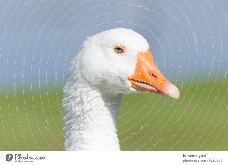 Kopf und Hals einer Gans Fleisch Auge Schnabel Umwelt Wasser Vogel hell gelb weiß federn Geflügel hals mästen porträt profil schnattern Vieh Farbfoto