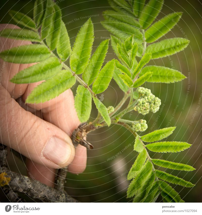 strüßje Hand Finger Natur Pflanze Frühling Baum Sträucher Blatt Blüte Wald Zeichen Beginn Freude Glück Esche grün Wachstum Leben Ebereschenblätter Vogelbeerbaum