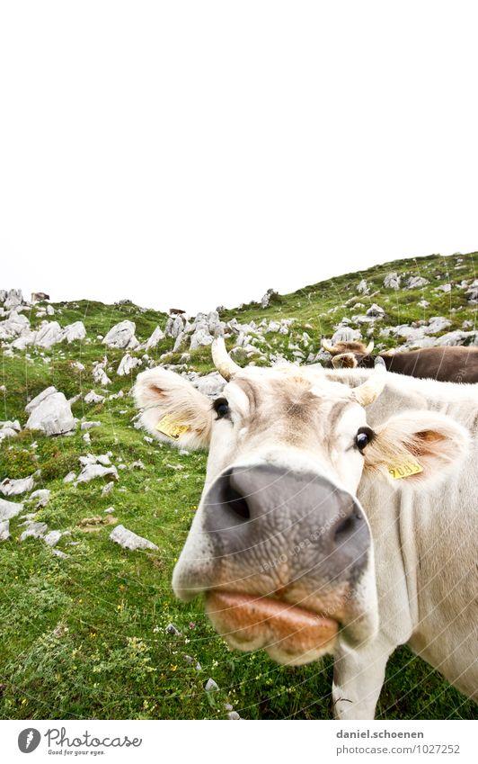 dicke Lippe Ferien & Urlaub & Reisen Tourismus Berge u. Gebirge Alpen Nutztier Kuh 1 Tier Blick hell grün weiß Gedeckte Farben Textfreiraum oben Weitwinkel