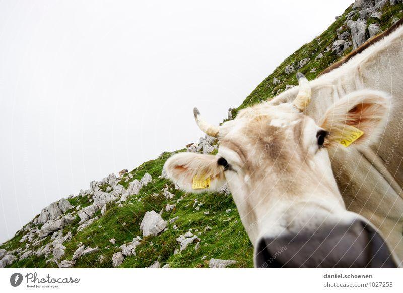 schiefe Kuh Alpen Tier 1 hell grün weiß Ferien & Urlaub & Reisen Gedeckte Farben Außenaufnahme Menschenleer Textfreiraum links Textfreiraum oben Tierporträt