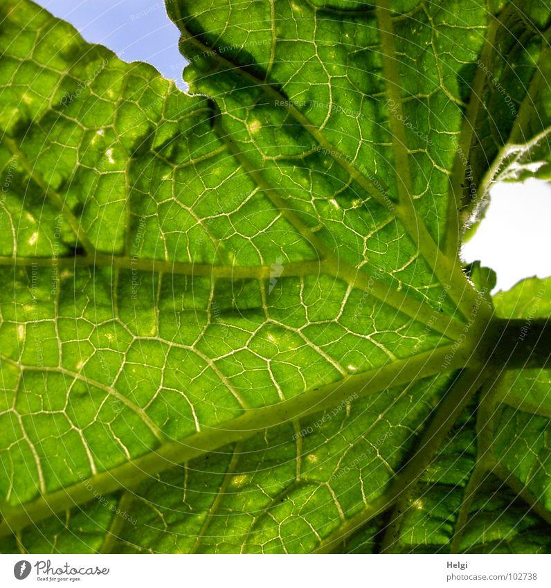Gurkenblatt Blatt grün Blattgrün Wachstum Stengel Gefäße Froschperspektive Pflanze Kübel gedeihen gelb braun nah Gemüse Makroaufnahme Nahaufnahme Salatgurke