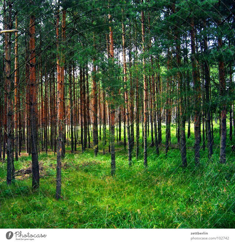 Wald Baum Nadelwald Nadelbaum Holz Märchen Wolf grün Wiese Waldspaziergang Romantik Freizeit & Hobby Baumstamm grasm lichtung Spaziergang Idylle