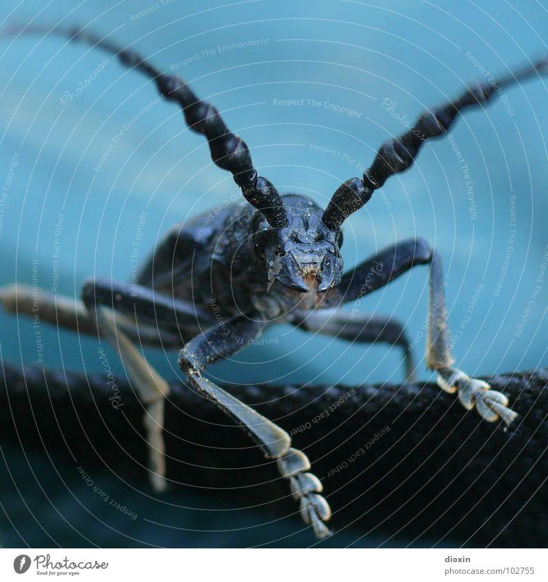 Aromia Moschata Natur blau Tier schwarz Umwelt fliegen Angst Körperhaltung Insekt gruselig Käfer krabbeln Schüchternheit Entsetzen Fühler Blick