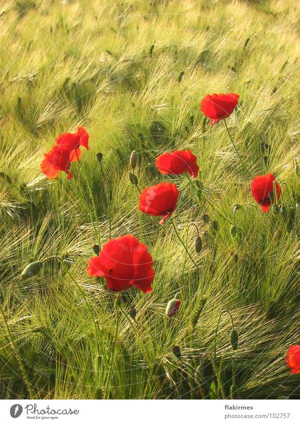 Mohn im Kornfeld Sommer Hippie rot Landwirtschaft Getreibe Leben Blumen. pflanzen