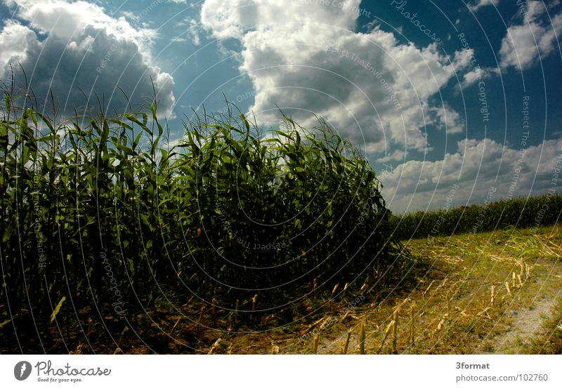 maisfeld blau Ferien & Urlaub & Reisen grün Sommer Pflanze Wolken Landschaft gelb Wiese Wärme Herbst Wege & Pfade hell Horizont Arbeit & Erwerbstätigkeit Feld