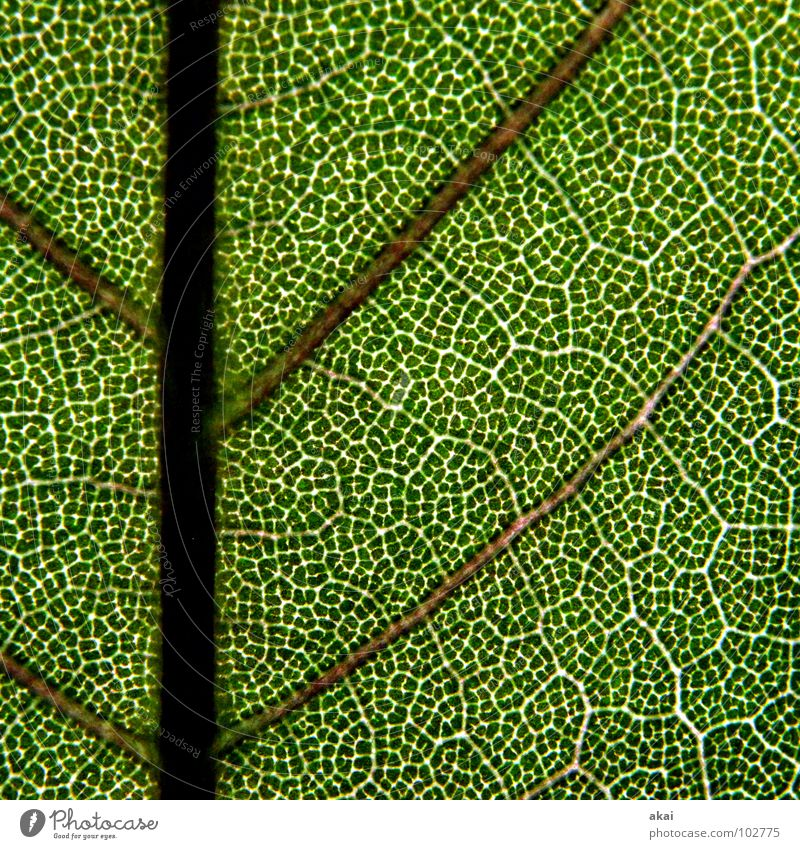 Das Blatt 16 Pflanze grün Botanik Pflanzenteile Kletterpflanzen pflanzlich Umwelt Sträucher Gegenlicht Hintergrundbild Baum nah Photosynthese Gefäße