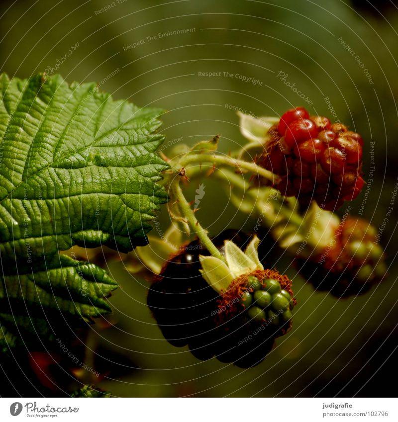 Brombeeren rot unreif Sommer Sträucher lecker Kletterpflanzen Rosengewächse Vitamin stachelig Pflanze Vegetarische Ernährung rubus fruticosus agg. waldbeere