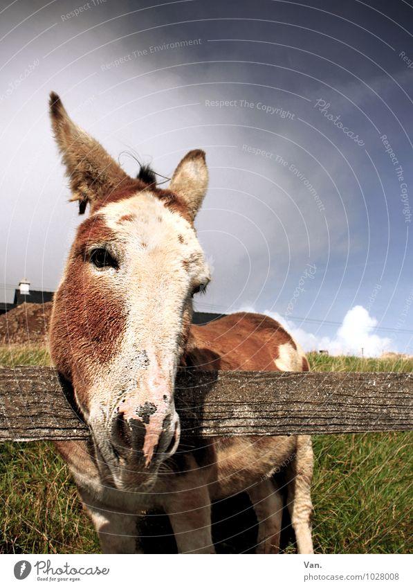 Immer schön die Ohren steif halten Natur Tier Himmel Wolken Herbst Gras Wiese Republik Irland Nutztier Tiergesicht Esel 1 Blick Neugier niedlich Zaun Holz