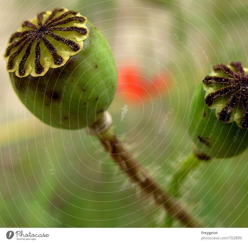 Mohn in Motion Natur Blume grün rot Blüte Feld Blütenknospen Kornfeld