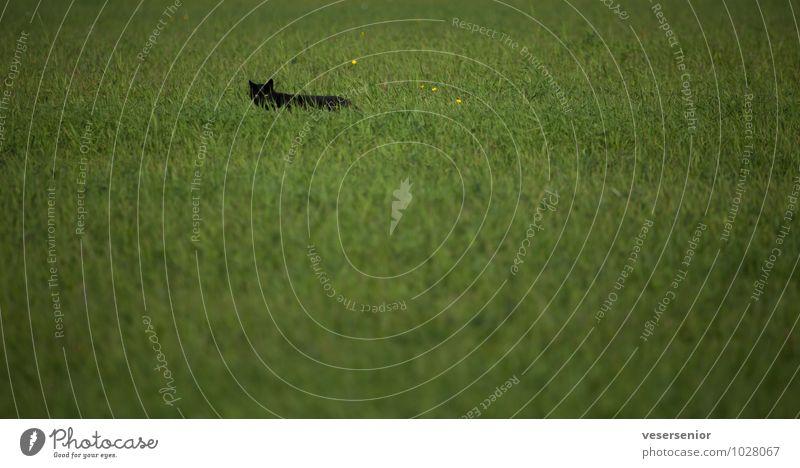 mouse hunter Gras Wiese Tier Katze 1 beobachten Jagd Neugier grün Verschwiegenheit Wachsamkeit Interesse Schüchternheit Erwartung einzigartig Konzentration