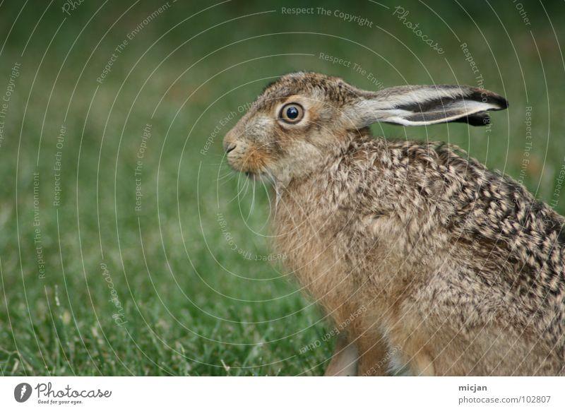 Angsthase Hase & Kaninchen Tier Schnauze niedlich Wildtier bewegungslos Gras startbereit laufen Blick schön Lebewesen springen hüpfen Rasen Profil Natur