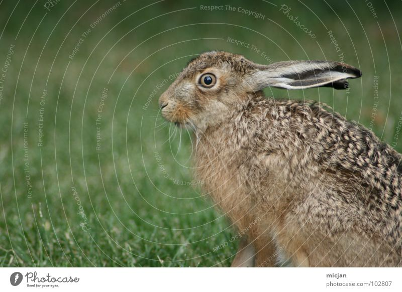 Angsthase Natur schön Tier Auge Gras springen Wildtier laufen niedlich Nase Rasen Lebewesen bewegungslos Hase & Kaninchen Schnauze hüpfen