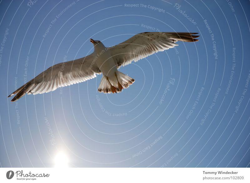 Mövenpic Möwe Vogel himmelblau Frieden Sonne Sommer Meer See Schweben Segeln Tiefflieger Leichtigkeit Unbeschwertheit Nahrungssuche Luftverkehr flugtauglich
