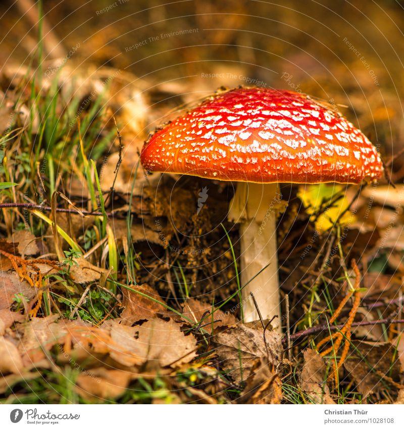 Fliegenpilz Natur Pflanze schön weiß rot Blatt Tier Wald Berge u. Gebirge Umwelt Herbst Gras natürlich glänzend wild gefährlich
