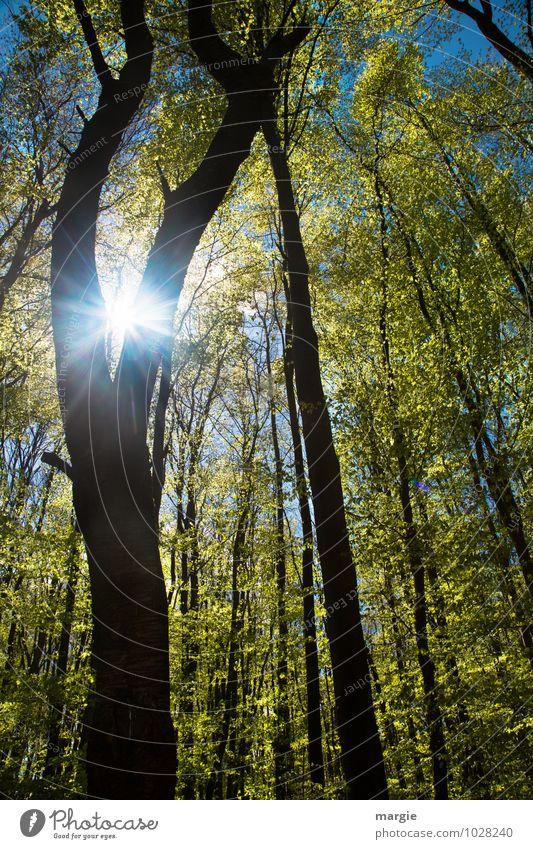 Wenn der Frühling kommt....ein Maiwald mit Sonne Natur Pflanze Tier Sonnenlicht Sommer Schönes Wetter Baum Blatt Wald Gesundheit dünn Wärme grün Freude Glück
