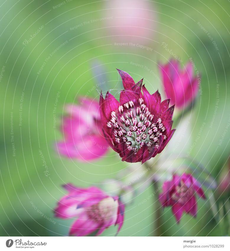 Blüten pink Natur Pflanze schön grün Sommer Blume Blatt Umwelt Liebe Glück außergewöhnlich Garten rosa Wachstum leuchten