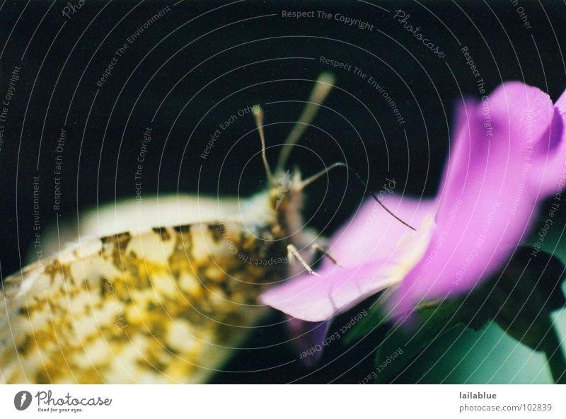butterfly Gedeckte Farben Außenaufnahme Nahaufnahme Makroaufnahme Menschenleer Hintergrund neutral Licht Schatten Unschärfe Sommer Natur Pflanze Frühling Blume