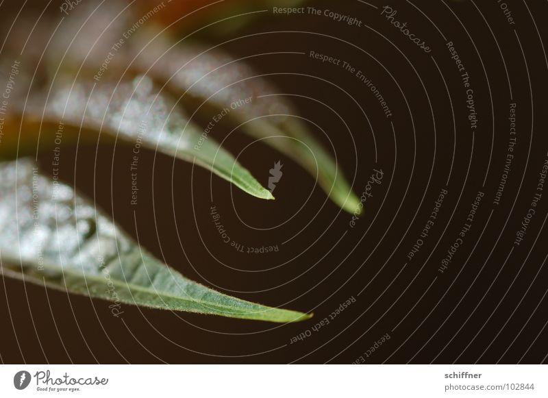 Dreizack grün Pflanze Blatt braun Sträucher Spitze Stengel Schnabel Mittelpunkt Fabelwesen