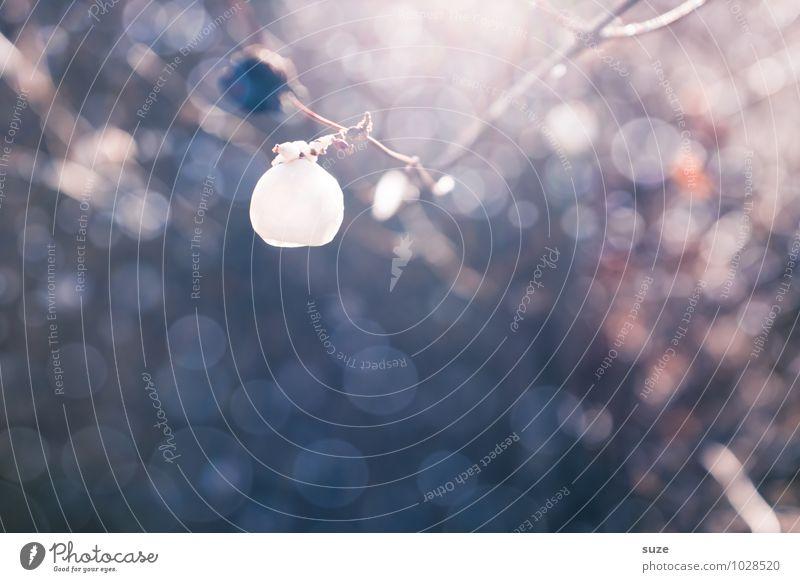 Verknallte Schneebeere Natur Pflanze Herbst Winter Sträucher Wildpflanze außergewöhnlich schön weiß Stimmung Lebensfreude Vorfreude Hoffnung Sehnsucht