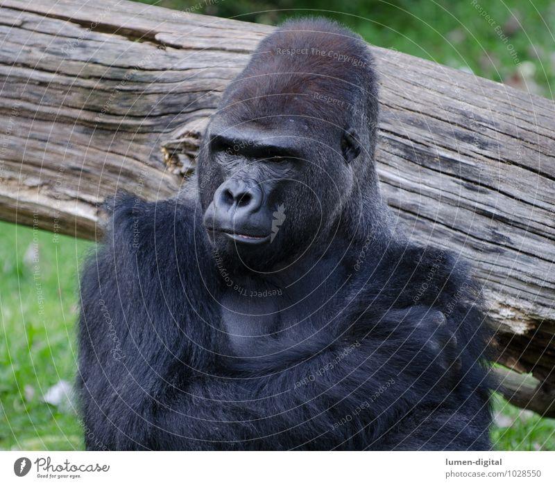 Gorilla Tier Zoo Affe Menschenaffen 1 Holz Denken alt sportlich schwarz Umwelt Umweltschutz Affen brustporträt King Kong kopf ohren Querformat Schulter