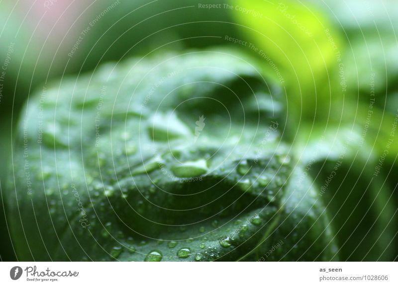 Frischer Basilikum Natur Pflanze grün Farbe Blatt Leben Essen Gesundheit Lebensmittel frisch Ernährung Wassertropfen Kochen & Garen & Backen Kräuter & Gewürze Wellness rein