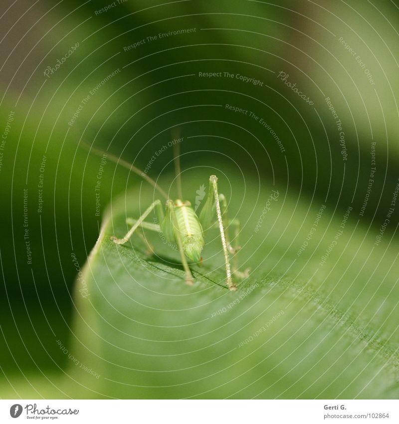 hops Natur grün Pflanze Blatt Tier Farbe springen Beine Linie hell Tierjunges frisch Perspektive stehen dünn Insekt