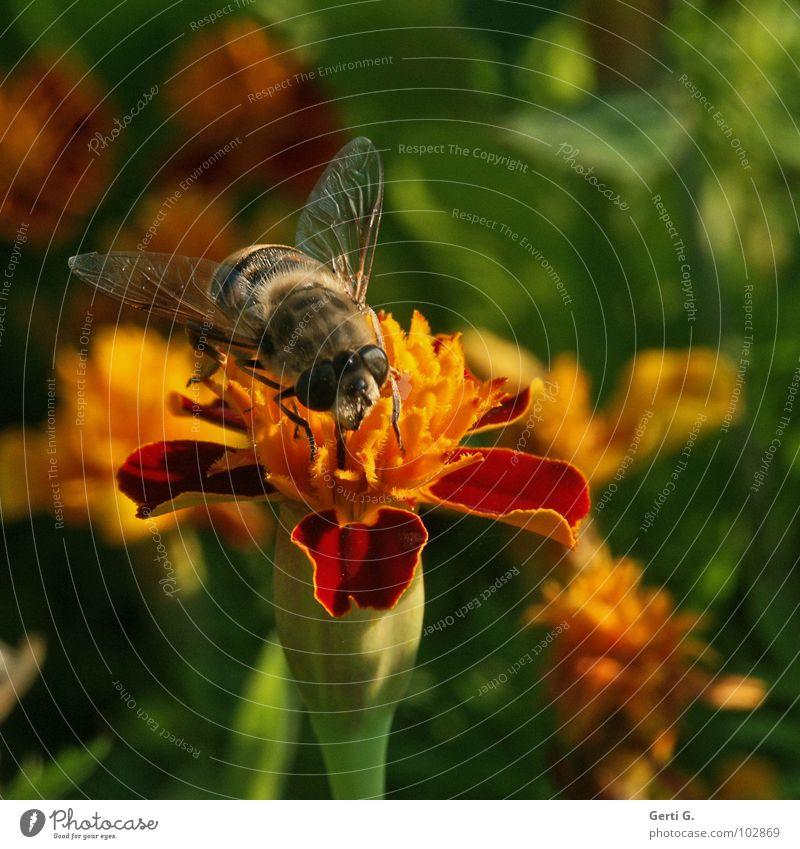 Bummel Honig Hummel Biene Imker gestreift schwarz Insekt Blume Blüte Pflanze Blütenblatt Botanik mehrfarbig Tagetes Schneckenabwehr rot gelb grün Pollen