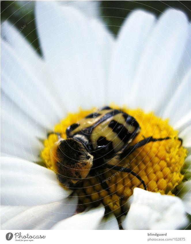 Margeriten Pinseldienst Pinselkäfer Insekt Pflanze Tier weiß grün gelb Blume Schiffsbug Sommer Wind festhalten Botanik Biologie Streifen schwarz ungefährlich