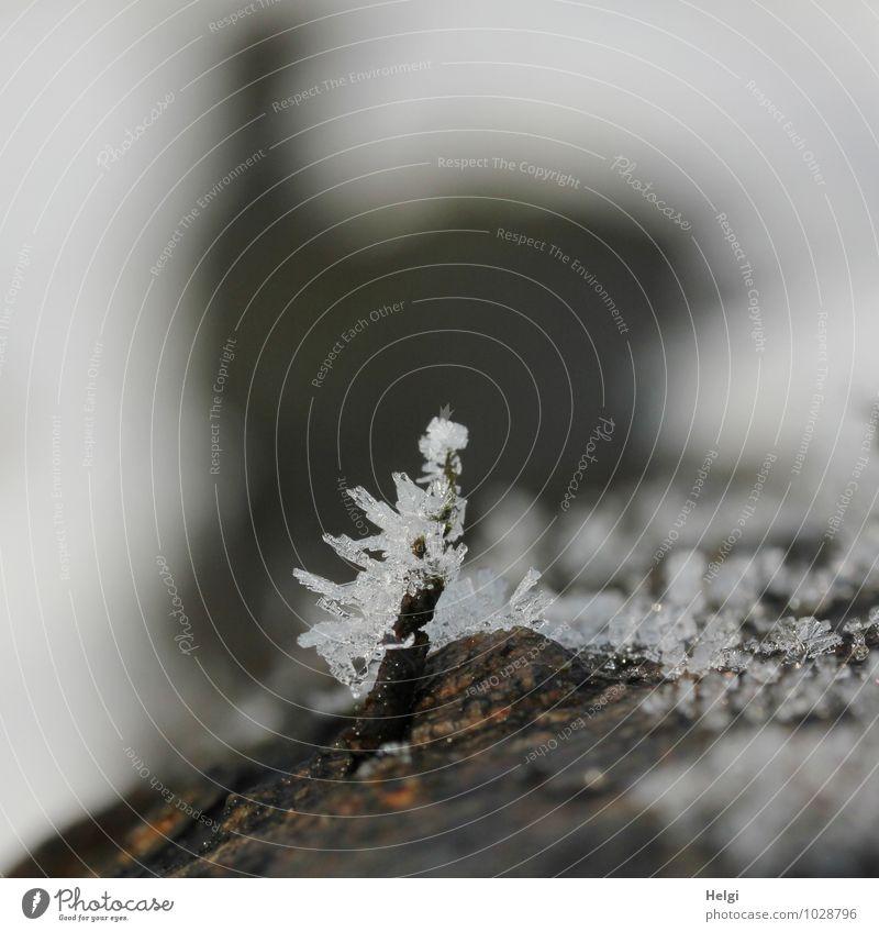 zackig... Umwelt Natur Winter Eis Frost Baumstamm Baumrinde Wald frieren authentisch außergewöhnlich dunkel klein natürlich Spitze braun grau weiß bizarr