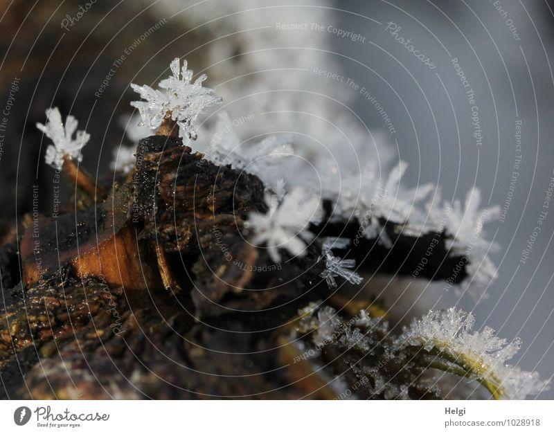 Wetter | frostig Umwelt Natur Winter Eis Frost Baumstamm Baumrinde Wald frieren ästhetisch außergewöhnlich kalt klein natürlich stachelig braun grau weiß bizarr