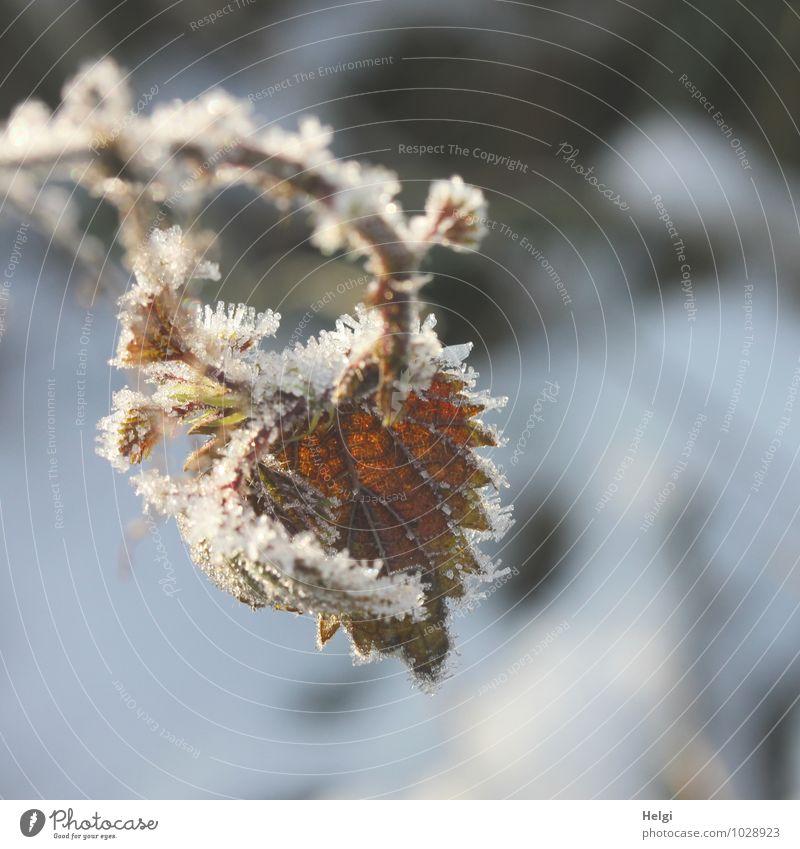 eisig verziert.... Umwelt Natur Pflanze Winter Eis Frost Blatt Wildpflanze Zweig Blattadern Wald alt hängen dehydrieren authentisch außergewöhnlich schön kalt