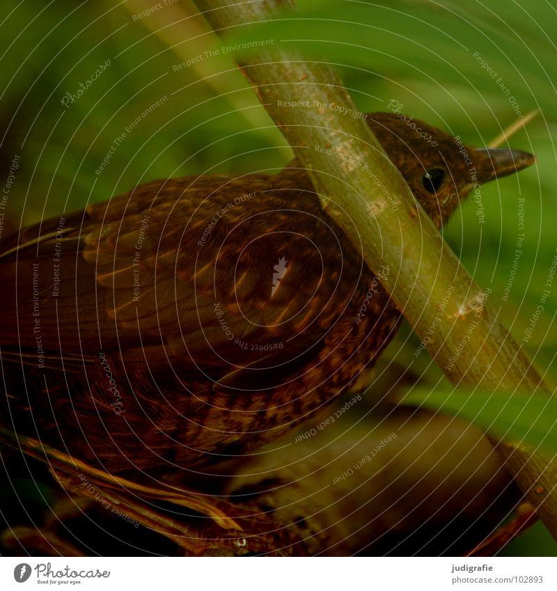 Junger Star Vogel Tier Feder Umwelt braun grün Pflanze Schüchternheit Vorsicht Sommer fiedern Schutz Natur verstecken geduckt