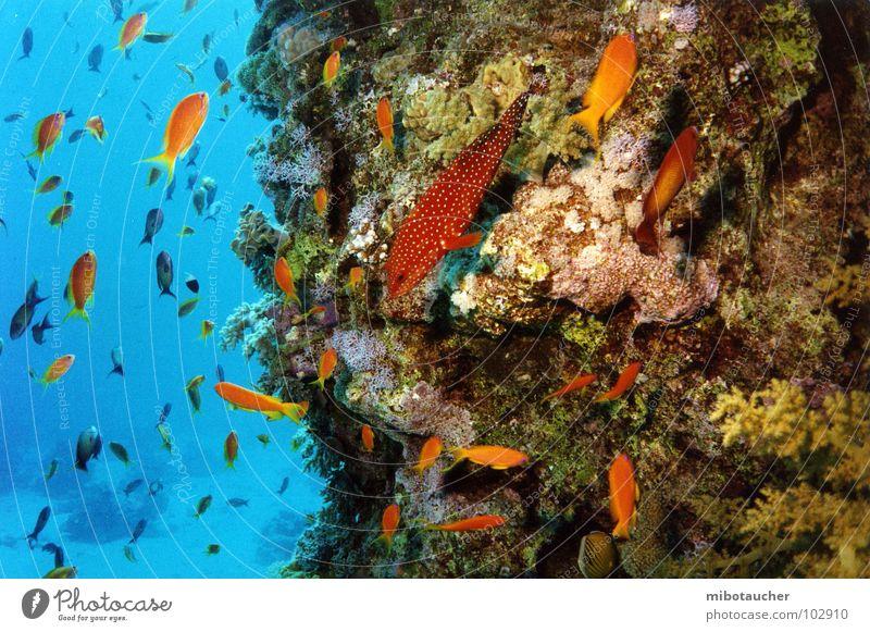 meer sehen Korallen tauchen mehrfarbig Ferien & Urlaub & Reisen Meer Rotes Meer Unterwasseraufnahme Fisch Natur