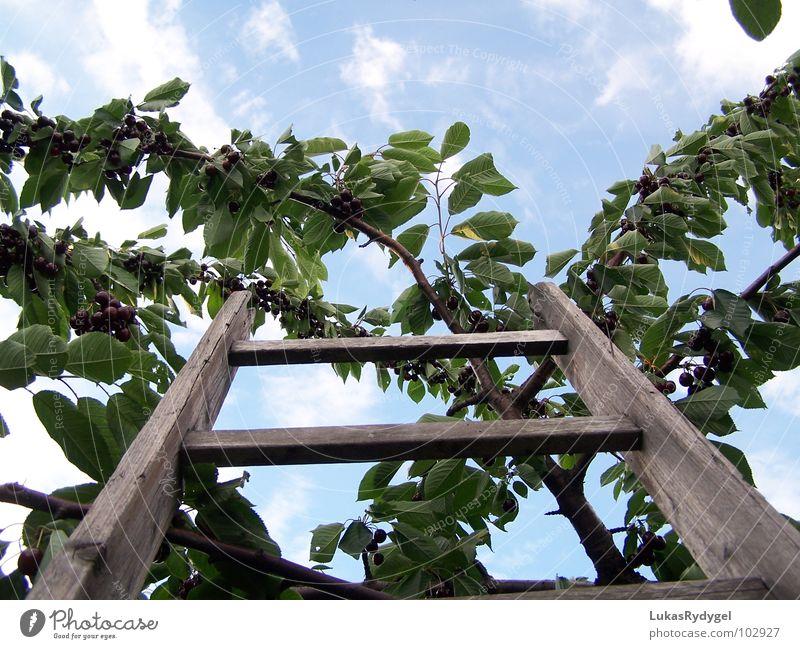 Gen Himmel alt Baum blau Sommer oben Freiheit Holz Frucht gefährlich Niveau Ast trocken Leiter Kirsche