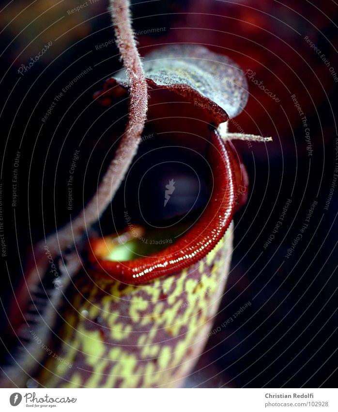 Fleischfresser der 3. Pflanze grün rot Fressen gefangen Kannenpflanzen Makroaufnahme Nahaufnahme Sonnentaugewächse lockstoffe Ernährung Hinterhalt Nepetens
