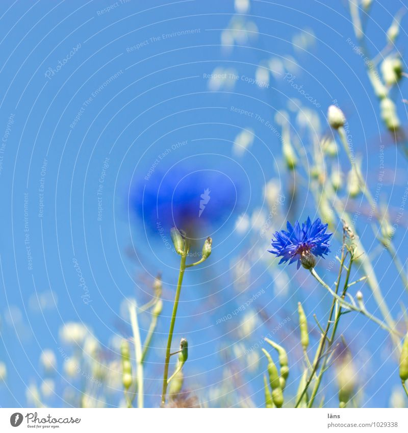 kornblumenblau Umwelt Natur Landschaft Pflanze Himmel Wolkenloser Himmel Sommer Schönes Wetter Blume Blüte Wildpflanze Kornblume Feld Blühend Wachstum Beginn
