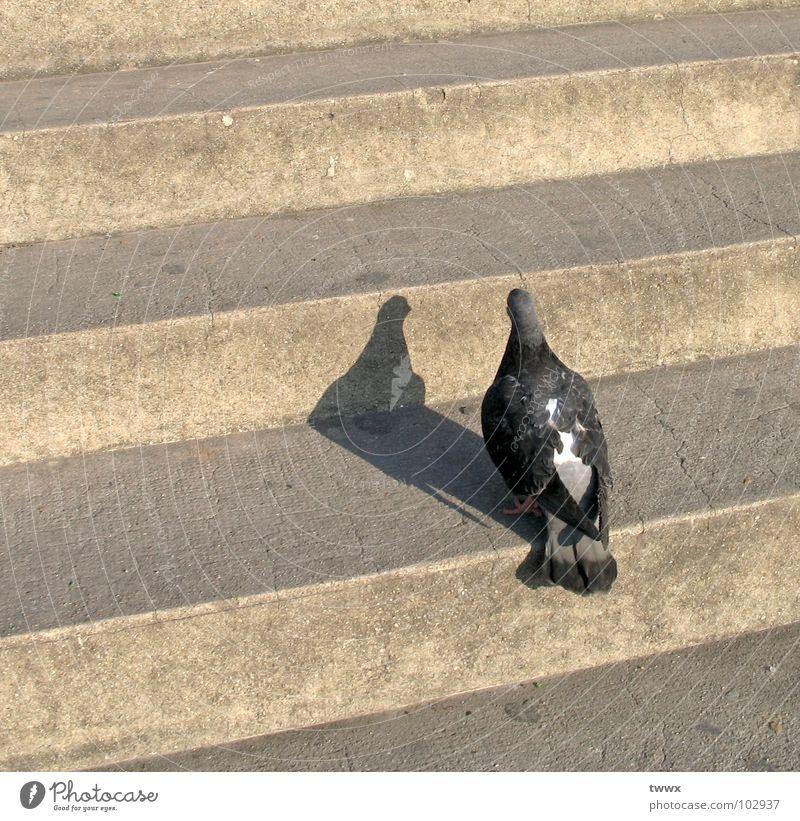 Bin ich schön ? Spiegelbild Licht & Schatten verdunkeln Schattenspiel Taube Vogel Tier nah Makroaufnahme aufsteigen aufwärts eitel skeptisch Stadt Feder stehen