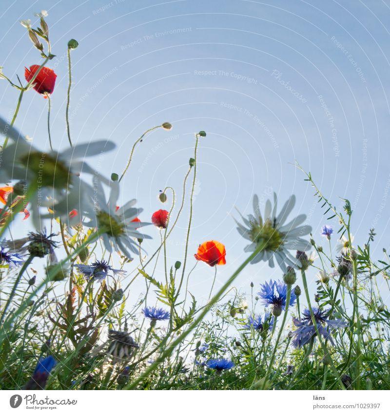 höhepunkt Ferien & Urlaub & Reisen Tourismus Ausflug Sommer Sommerurlaub Umwelt Natur Landschaft Himmel Schönes Wetter Blume Blüte Mohn Kornblume Margerite