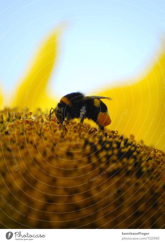 eingeschmaddert...... Himmel Sommer gelb Beine braun orange süß Flügel Insekt Sammlung Fressen Sonnenblume Stempel Pollen Honig Hummel