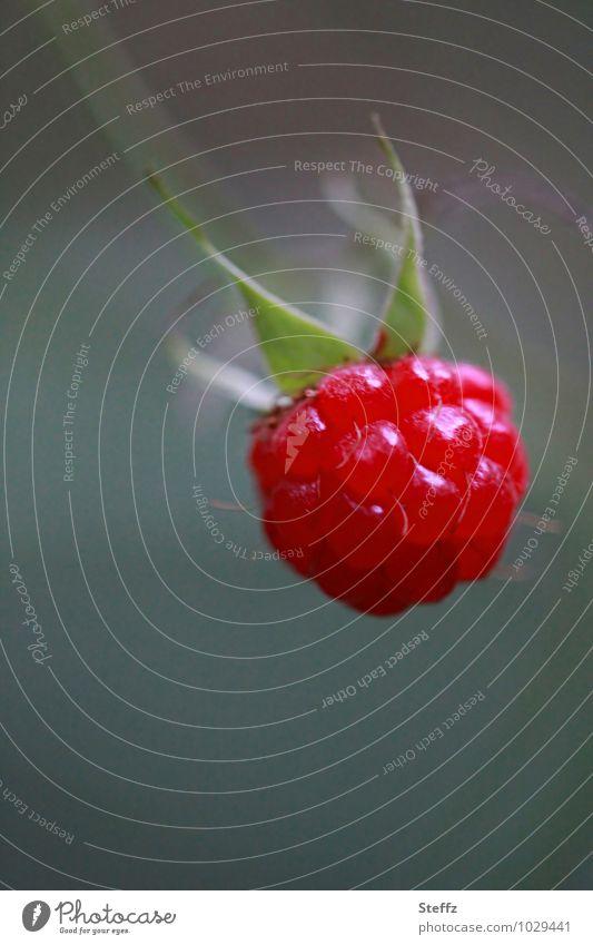 rote Himbeere fürs Müsli rote Beere pflückreife Himbeere Frucht Obst Heilpflanze Nutzpflanze Farbfleck Wildpflanze Reifezeit pflücken Bio Juni Juli gesund vegan